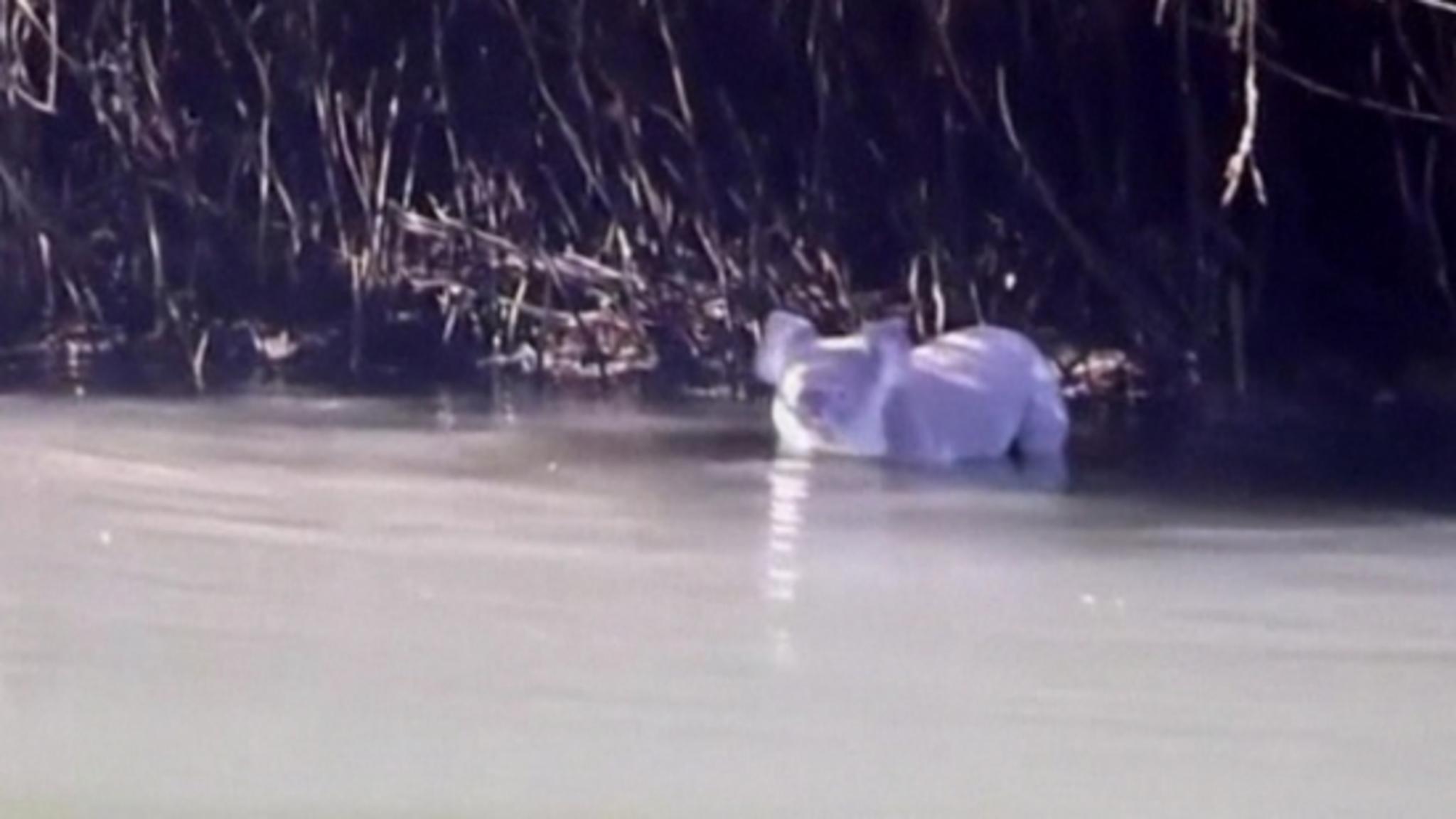 Koalabeer zwemt naar kanoërs | NOS