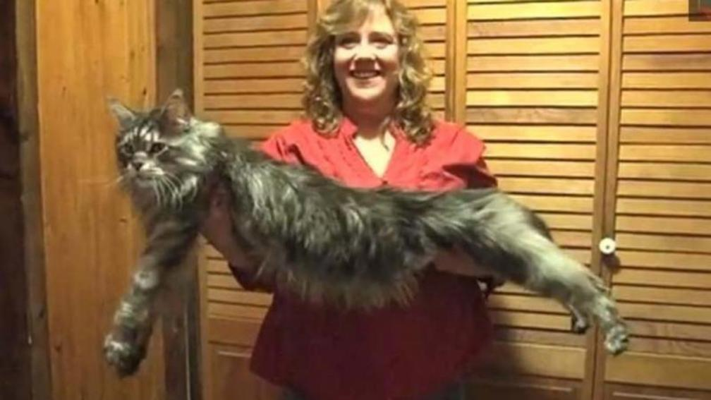 Biggest Cat In The World Guinness 2013 guinness world records biggest cat