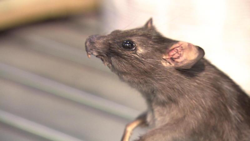 zwarte rat in huis