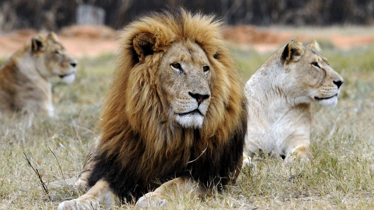 'In Zuid-Afrika wacht 6000 leeuwen de doodstraf'