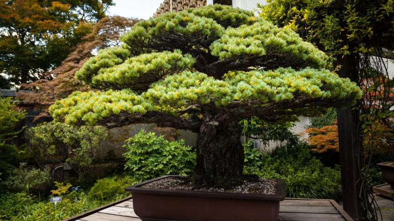 Bonsai Boom Verzorgen : De bonsaiboom die de atoombom op hiroshima zag vallen nos