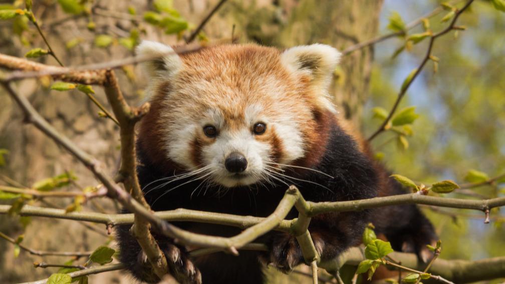 22a88d1781d Rotterdam op zoek naar ontsnapte rode panda | NOS Jeugdjournaal