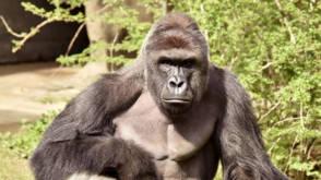 Gorilla grijpt peuter na val in verblijf