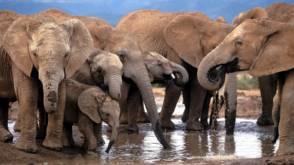 Olifantentelling in Afrika: er zijn er nog minder dan gedacht