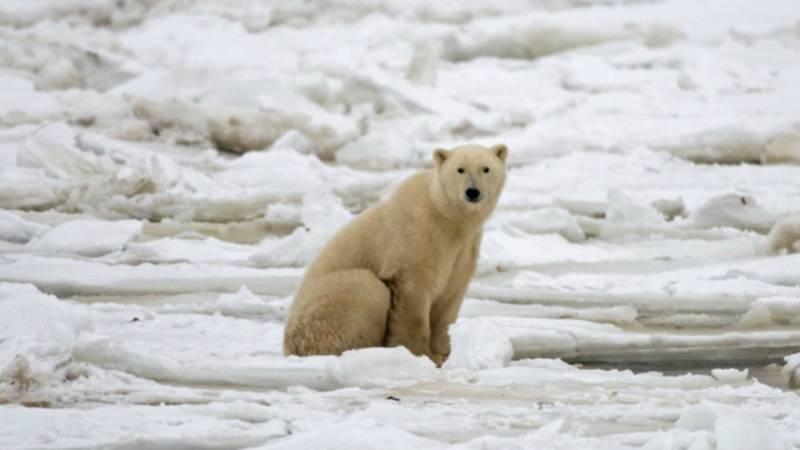 IJsberen omsingelen Russische wetenschappers | NOS