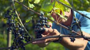 Topjaar voor Nederlandse wijn, maar het imago is nog altijd slecht