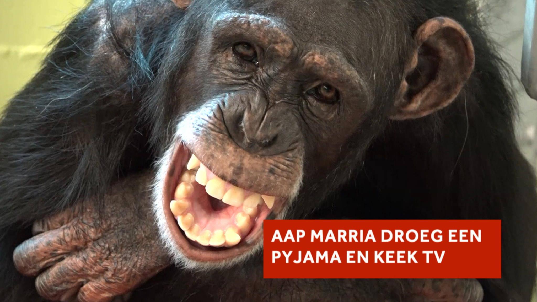 Aap Marria leefde 13 jaar bij een gezin in Portugal | NOS