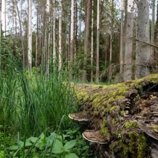 Polen de straat op voor behoud laatste oerbos