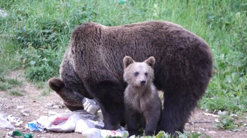 Bruine Beren In Roemeni 235 Zorgen Voor Overlast Nos