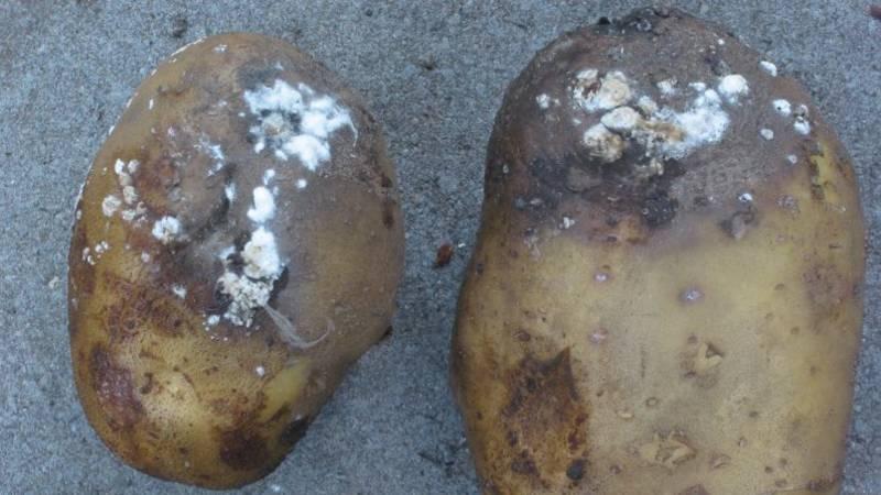 wanneer zijn aardappelen niet meer goed