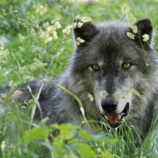 Steeds meer wolven in Duitsland