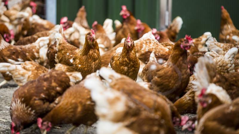 Afbeeldingsresultaat voor vogelgriep