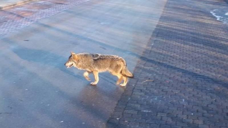 Wolf gefotografeerd in Twente