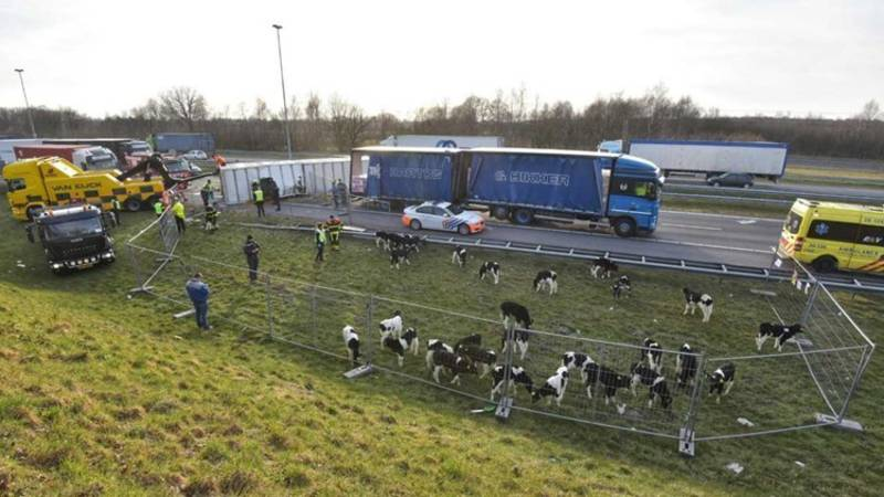 Meer dan 100 kalfjes dood bij ongeluk met veewagen op A16.