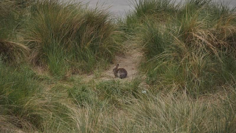 Konijnen op Schiermonnikoog krijgen hulp bij voortplanting