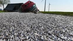 Vrachtwagen verliest 20 ton vis bij ongeluk.