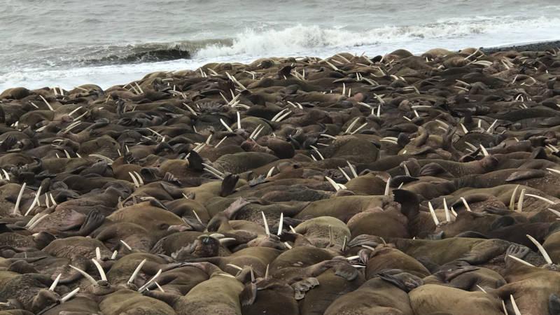 Kudde walrussen verrast dorpje in Alaska