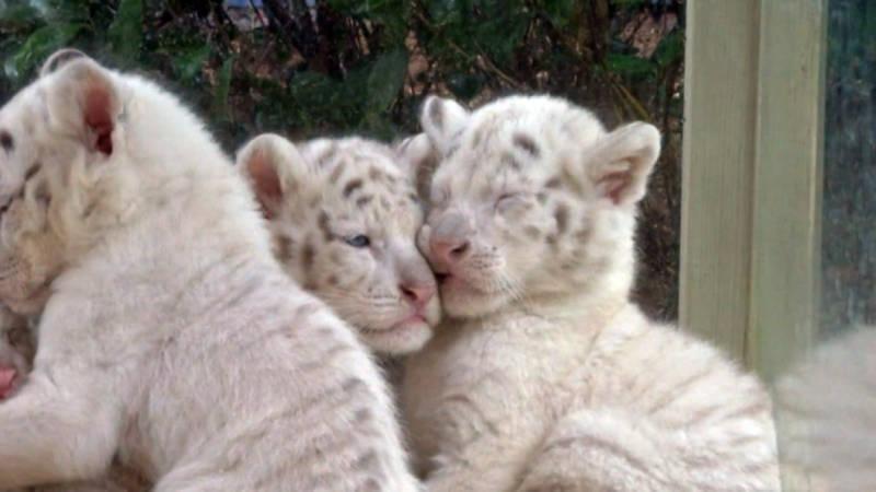 Witte Bengaalse tijger in China krijgt vijfling   NOS