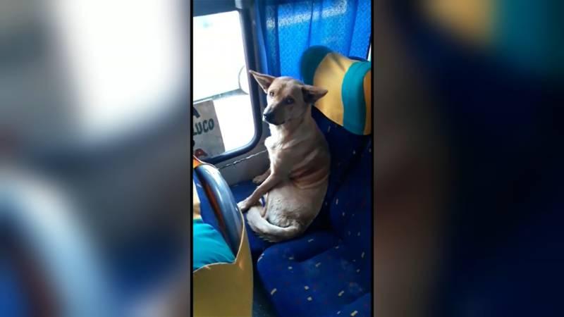 Deze hond maakt een ritje met de bus | NOS Jeugdjournaal