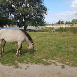 Bekijk details van Duizenden handtekeningen voor redding van Nijmeegse konikpaarden