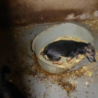 Bekijk details van Tientallen verwaarloosde honden in kennel in Overijssel