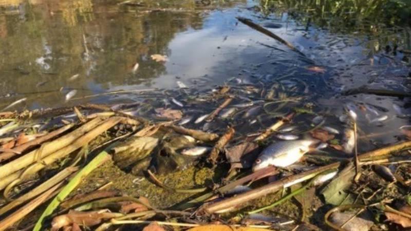 Duizenden dode vissen in de Berkel door lek in leiding