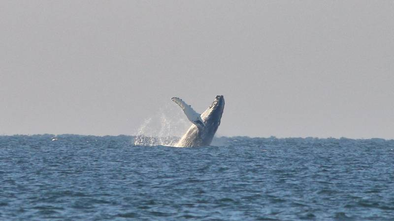 Humpback whale jumps near Kijkduin, photo by Jan van der Sluis
