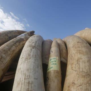Bekijk details van Cambodja neemt 3200 kilo aan slagtanden in beslag