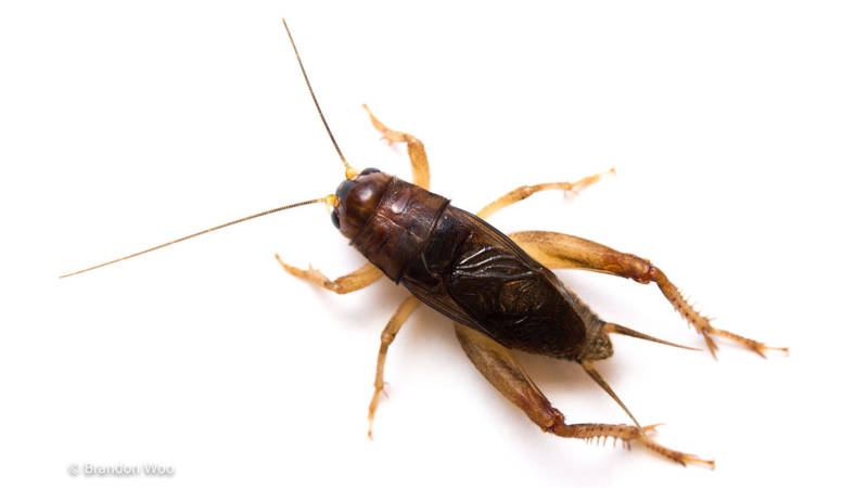 Anurogryllus celerinictus cricket, photo by Brandon woo