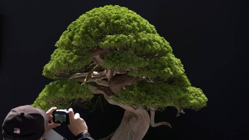 Bonsai Boom Verzorgen : Japans echtpaar wanhopig na diefstal bonsaibomen: zorg voor onze