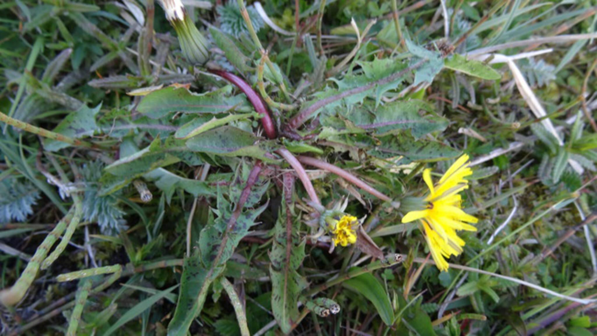 Veld vol zeldzame paardenbloemen gevonden op Schiermonnikoog