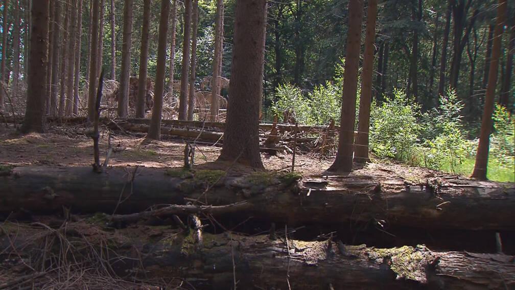 Bekijk details van Beuk door droogte nu al in herfstkleuren: 'Dan bloedt mijn boswachterhart'