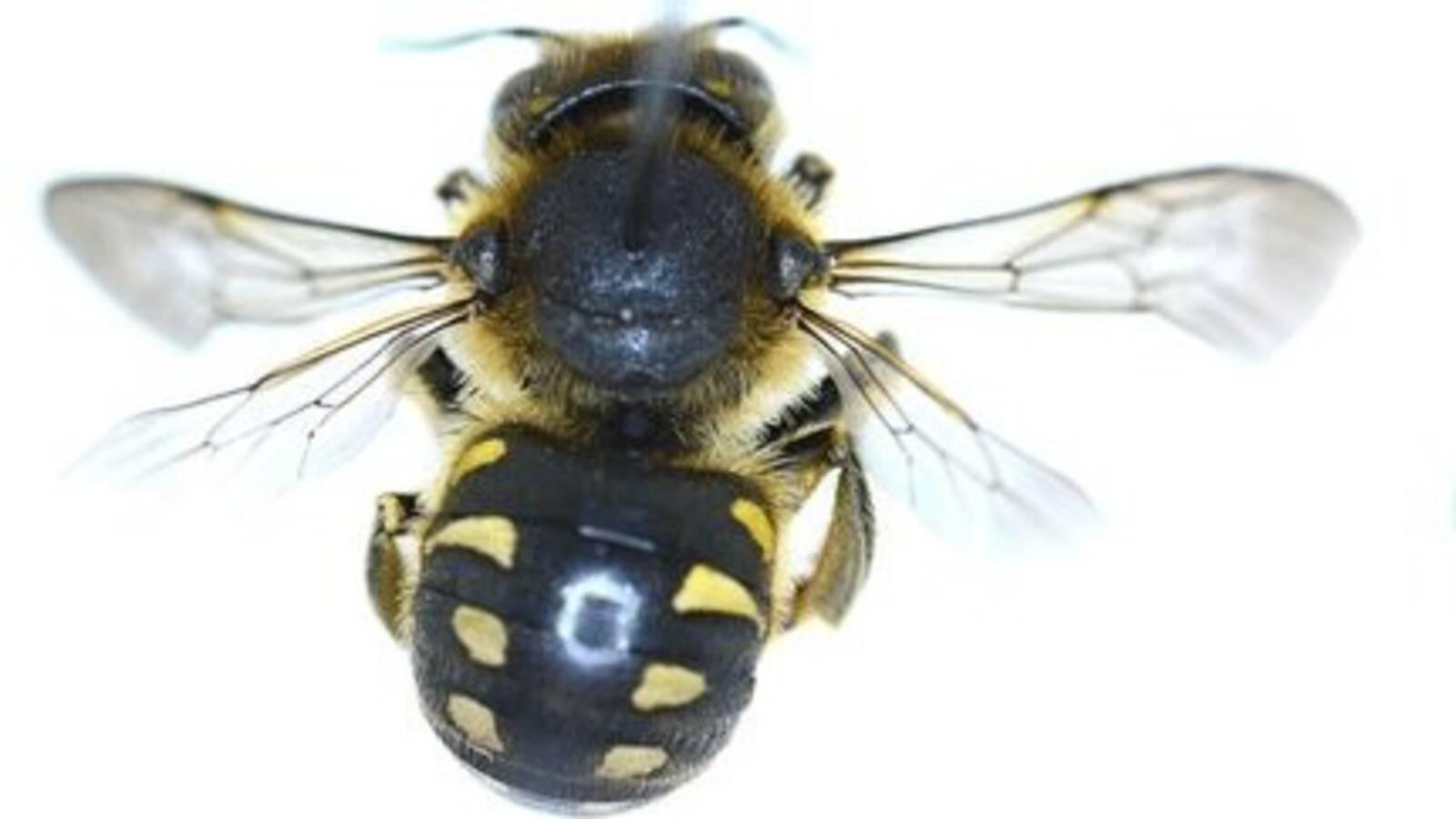 Anthidium septemspinosum bee, photo by Theo Zeegers