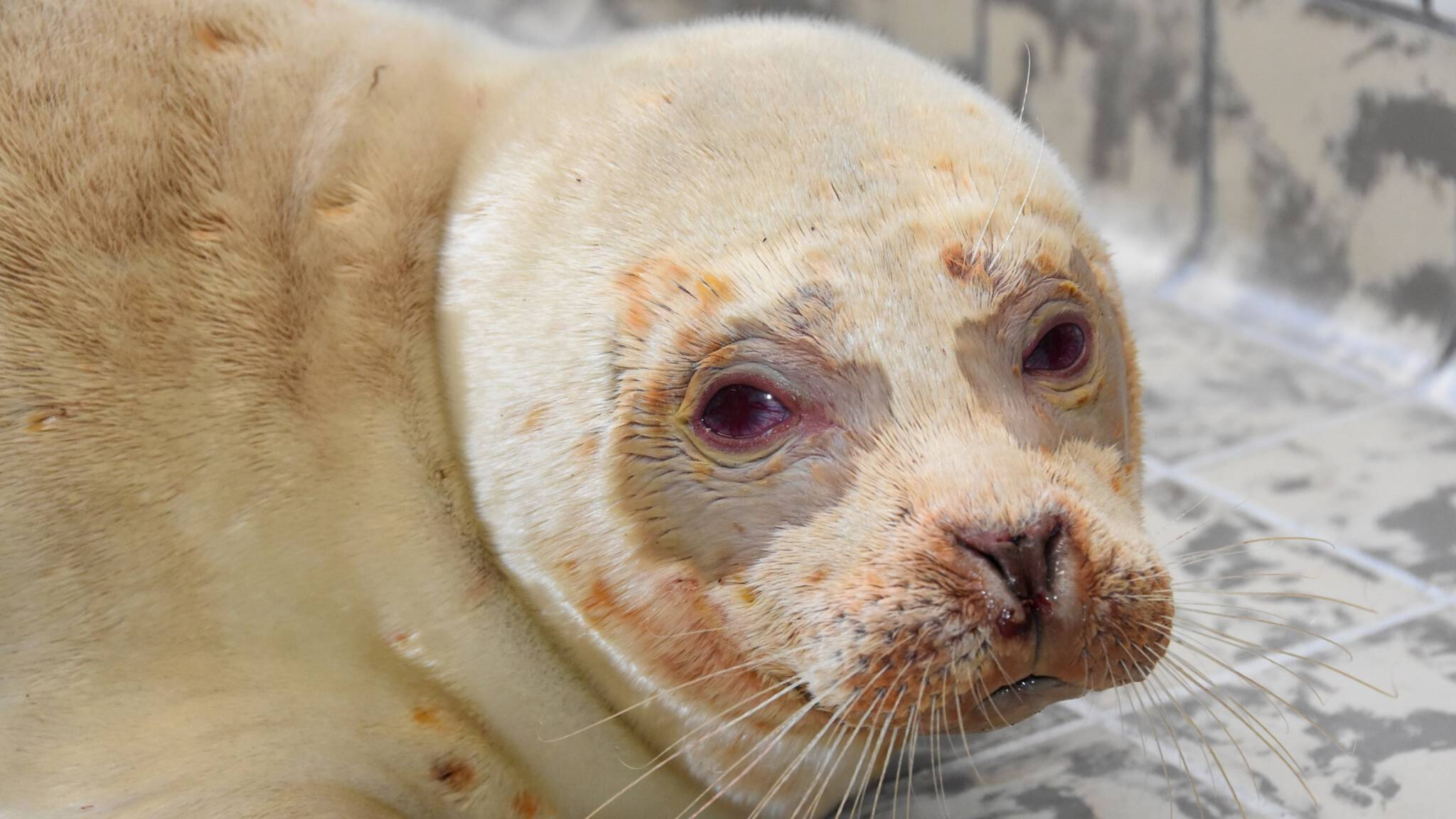 The Ecomare albino seal