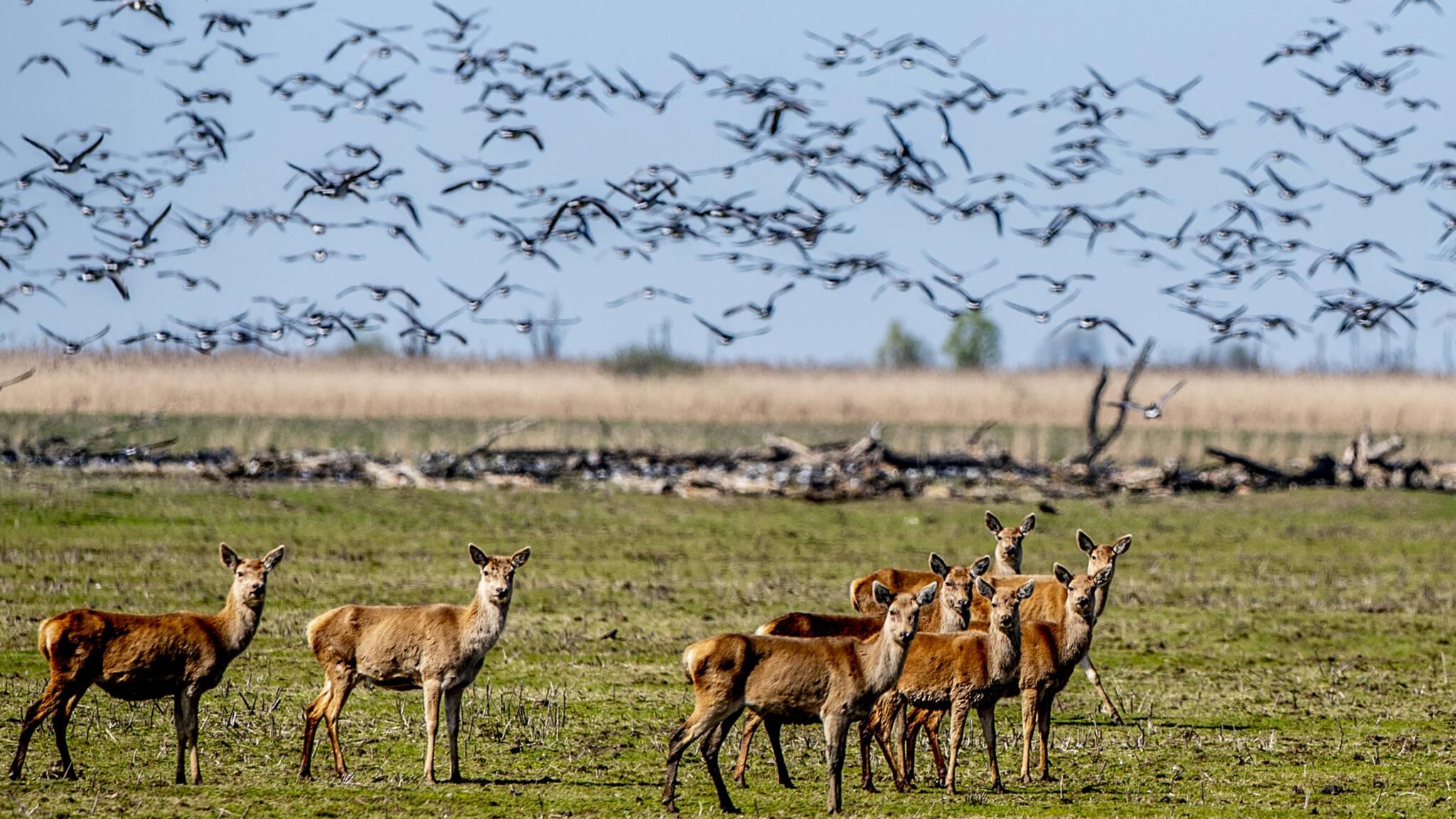 Staatsbosbeheer schiet weer honderden herten af in Oostvaardersplassen | NOS