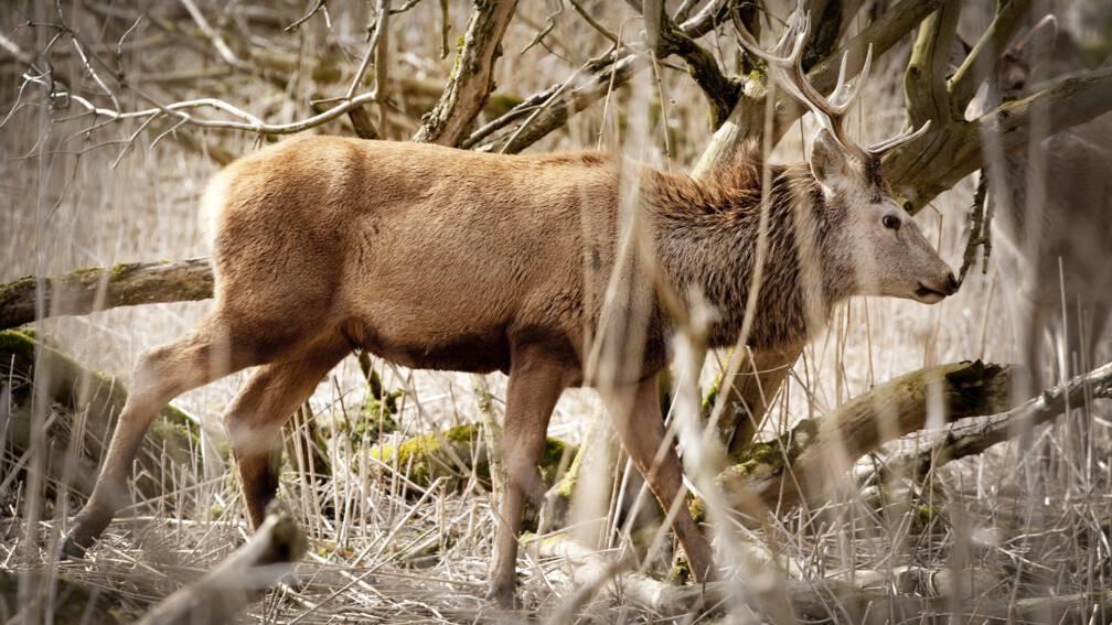 Bekijk details van 'Uitspraak over herten Oostvaardersplassen waarschuwing voor provincies'