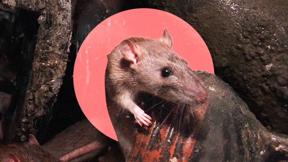 'Overheid heeft rattenoverlast niet in de hand'
