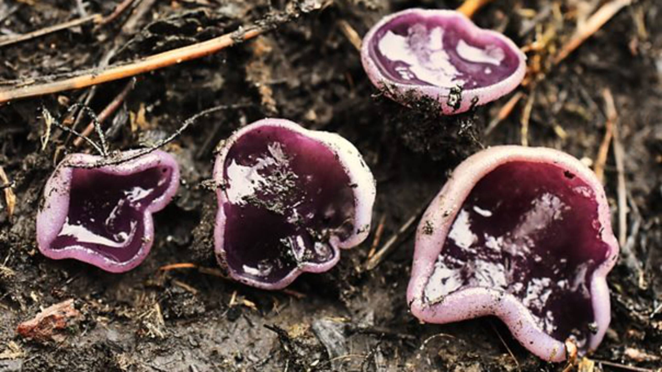 Peziza subviolacea, photo by Ronald Morsink