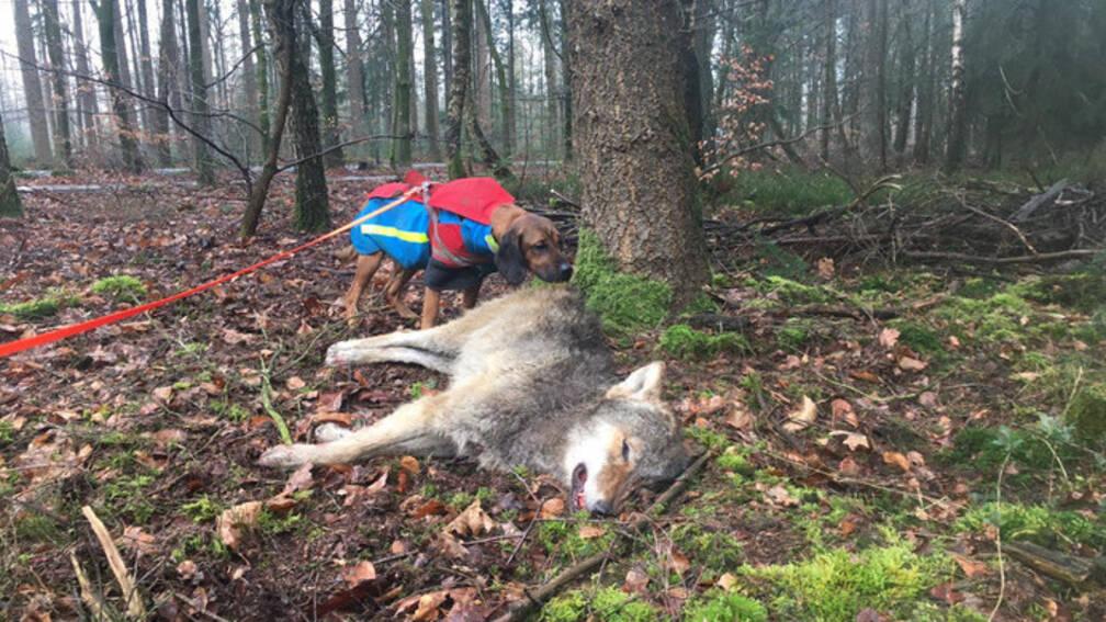 Jonge wolf dood na aanrijding op Veluwe.