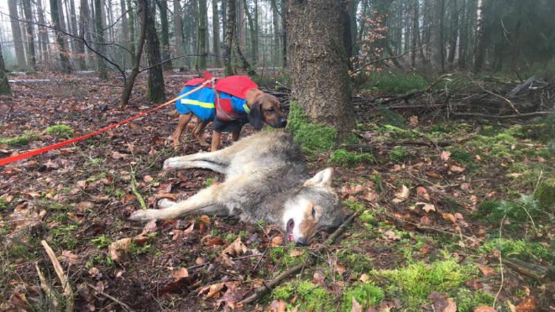 Jonge wolf aangereden op Veluwe, opgespoord door boswachter en hond