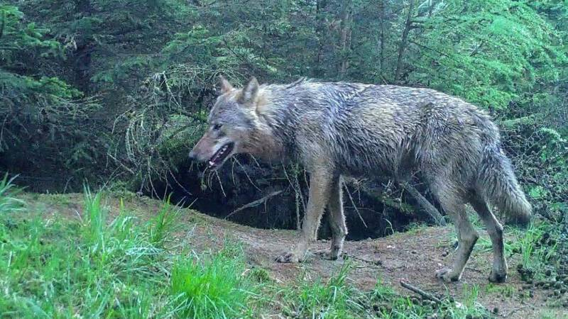 Mannetjeswolf vestigt zich mogelijk in Drenthe