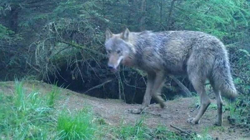 Het gaat goed met de wolven in Nederland