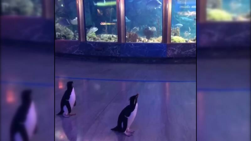 Pinguïns lopen los door gesloten dierentuin