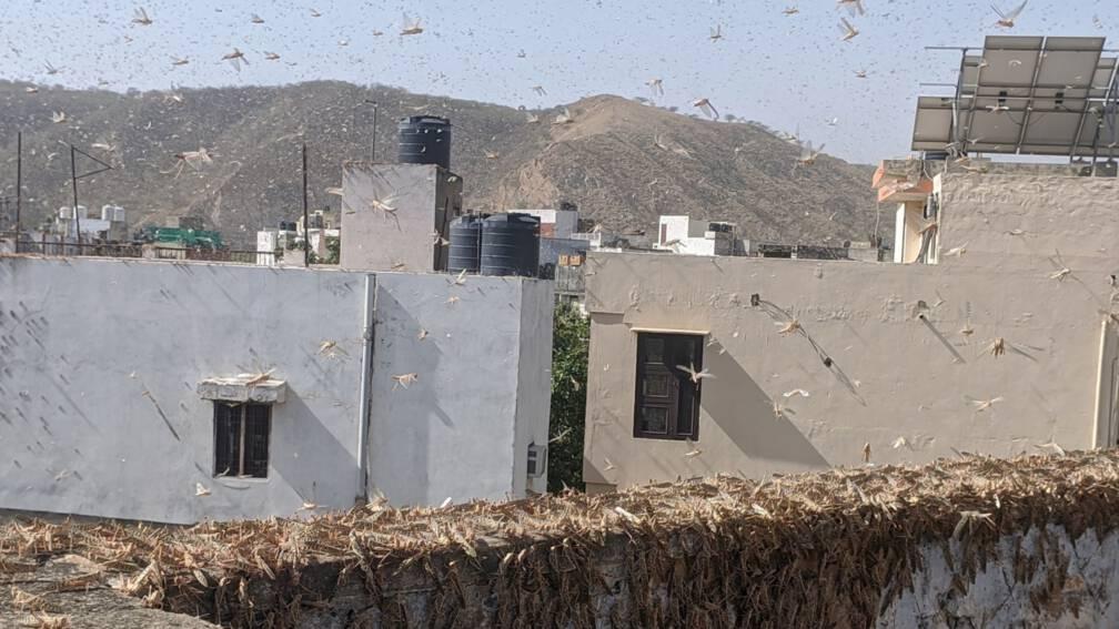 Bekijk details van 'Grootste sprinkhanenplaag in decennia' teistert nu ook Noord-India