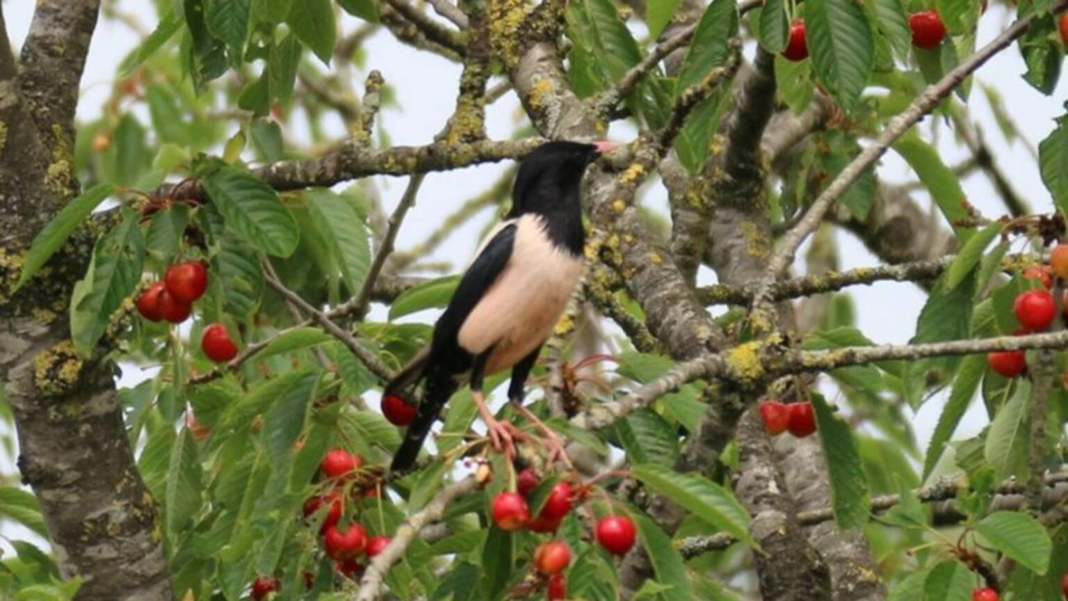 Rosy starling in cherry tree in Hall, photo by Arjen Werkman