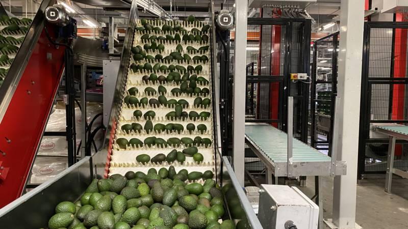 Avocadohonger niet te stillen; ruim miljard euro aan 'groen goud' geïmporteerd - NOS