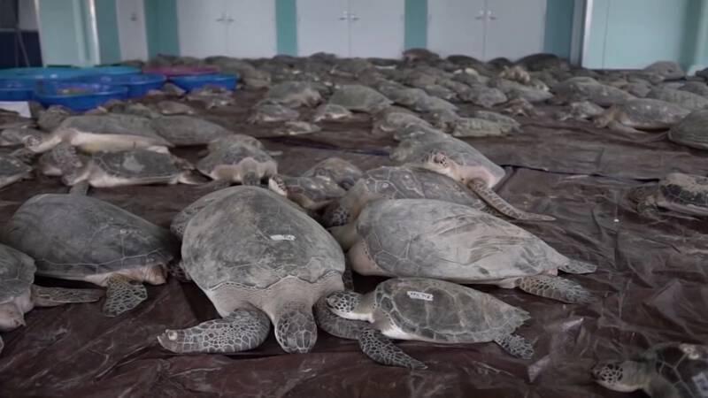 Duizenden zeeschildpadden raakten verlamd door kou, en worden opgevangen in Texas - NOS