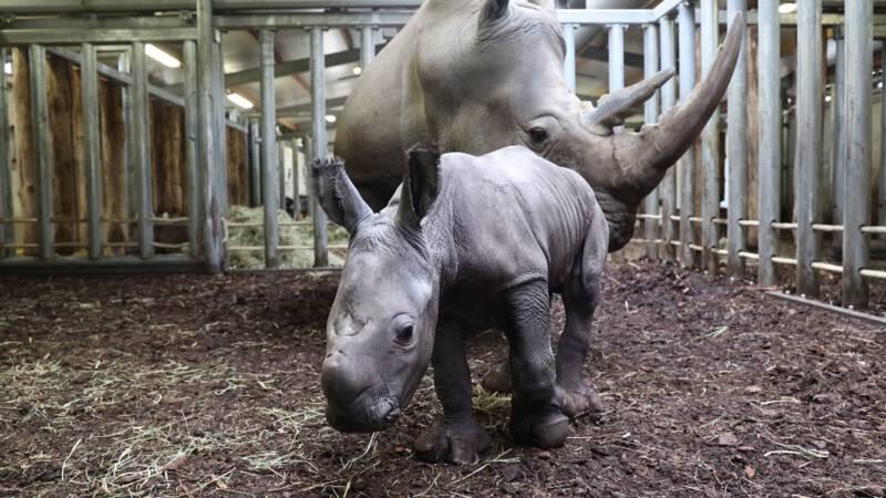 Bedreigde neushoornbaby geboren in Burgers' Zoo