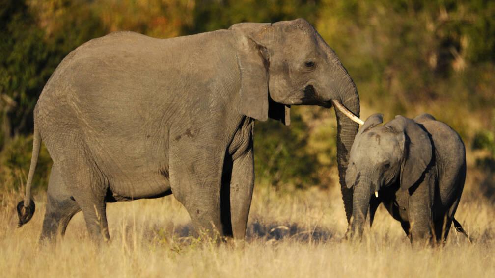 Bekijk details van Kudde olifanten vertrapt vermoedelijke stroper in Krugerpark
