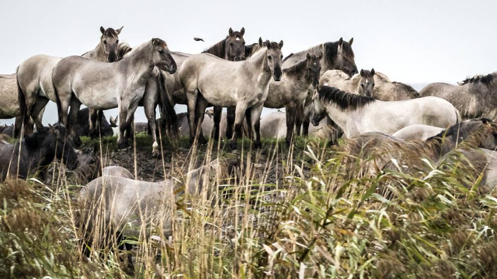 Grote grazers in Oostvaardersplassen zonder vergunning afgeschoten